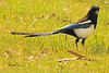 A Black-billed Magpie taken May 2, 2011 near Fruita, CO.