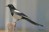 A Black-billed Magpie taken April 28, 2011 near Fruita, CO.