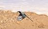 Black-billed magpie taken in Grand Junction, CO in Dec 2009.