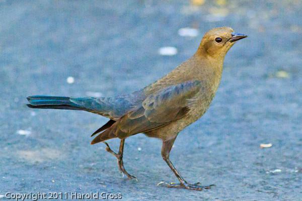 A Brewer's Blackbird taken Sep. 28, 2011 near Merced, CA.