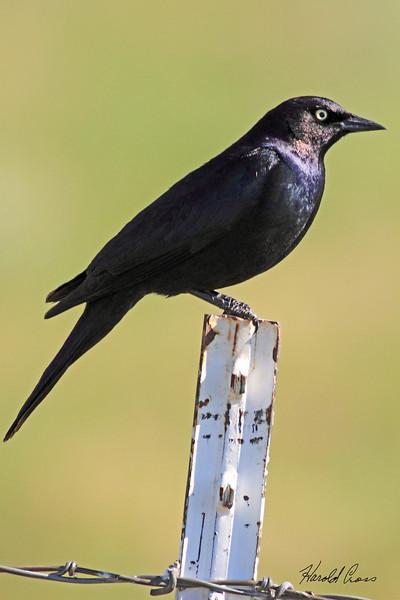 A Brewer's Blackbird taken Jun 14, 2010 near Fruita, CO.