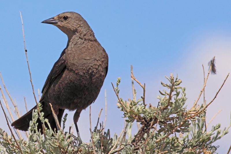 A Brewer's Blackbird taken Jun 28, 2010 near Fruita, CO.