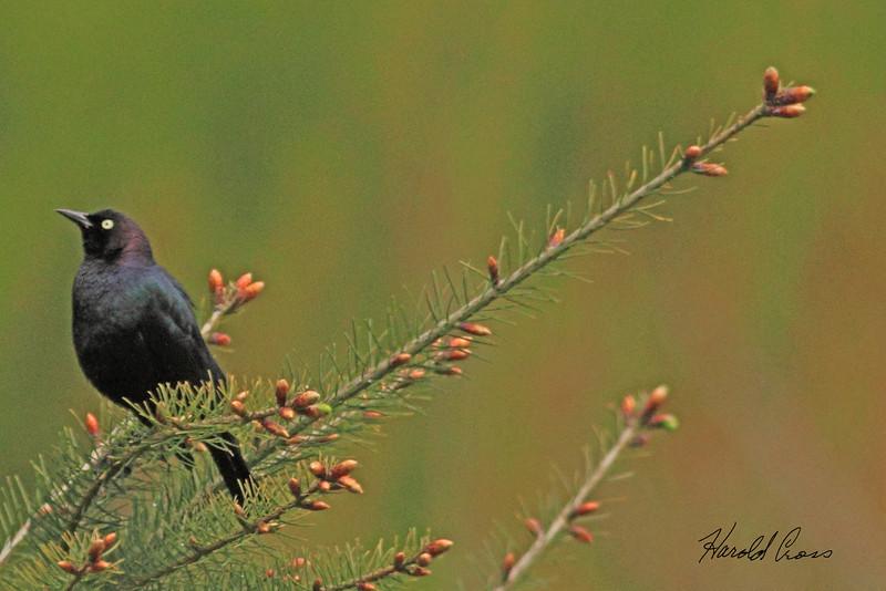 A Brewer's Blackbird taken April 18, 2010 near Bridgeville, CA.