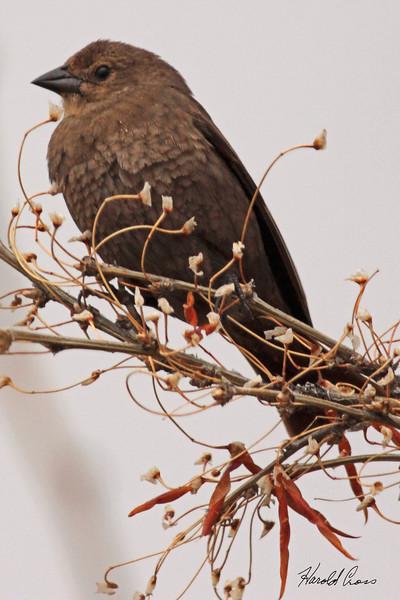 A Brewer's Blackbird taken May 29, 2010 near West Yellowstone, MT.