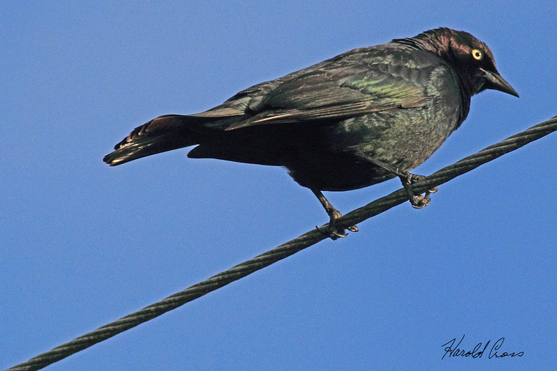 A Brewer's Blackbird taken June 11, 2011 near Bridgeville, CA.