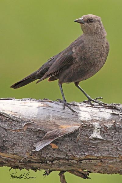A Brewer's Blackbird taken May 25, 2010 near Bozeman, MT.