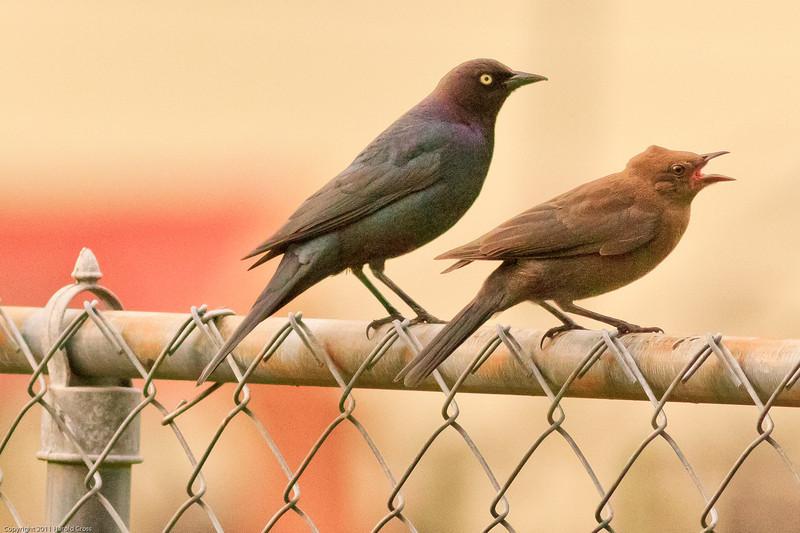 Brewer's Blackbirds taken June 11, 2011 near Bridgeville, CA.