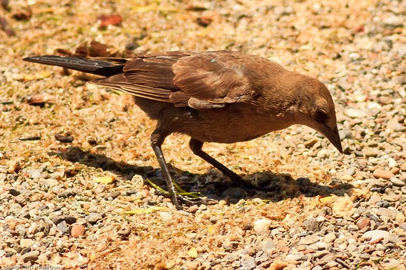 A Brewer's Blackbird taken June 9, 2011 near Lucerne, CA.