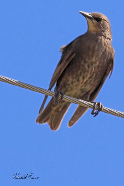 An Brown-headed Cowbird taken July 25, 2010 near Portales, NM.