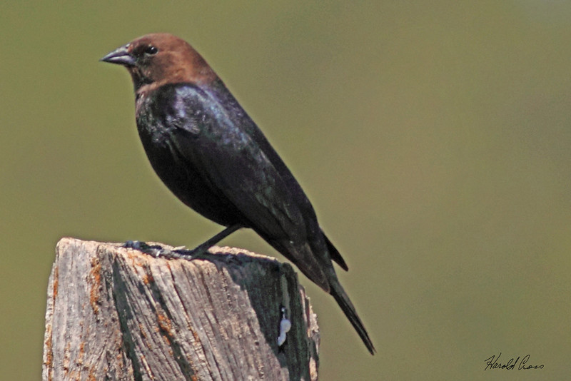 A Brown-headed Cowbird taken Jun 14, 2010 near Fruita, CO.