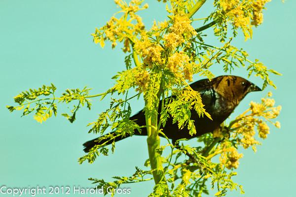 A Brown-headed Cowbird taken June 12, 2012 near Brigham City, UT.