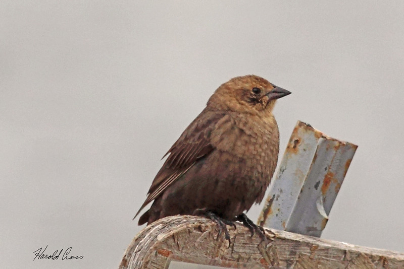 A Brown-headed Cowbird taken May 31, 2010 near Lake Henry, ID.