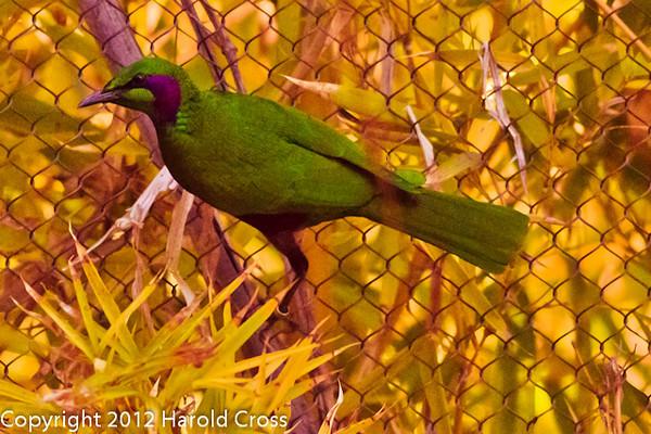 An Emerald Starling taken Feb. 25, 2012 in Tucson, AZ.
