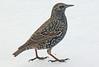 A European Starling taken Dec 15, 2009 in Fruita, CO.