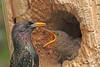 European Starlings taken May 18, 2010 in Grand Junction, CO.