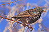 An European Starling taken Mar 26, 2010 in Grand Junction, CO.