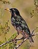 A European Starling taken Feb 13, 2010 in Phoenix, AZ.
