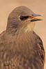 An European Starling taken May 24, 2011 in Fruita, CO.