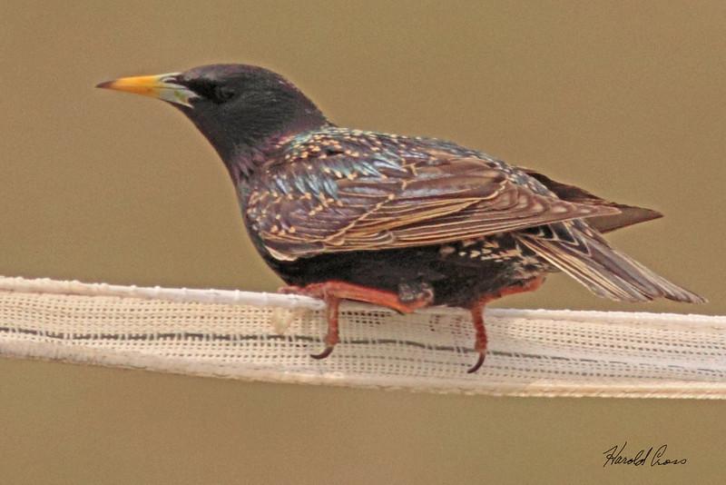 An European Starling taken Mar 28, 2010 near Fruita, CO.