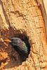 An European Starling taken Apr. 4, 2011 in Grand Junction, CO.
