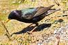 A European Starling taken June 9, 2011 near Lucerne, CA.