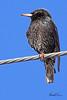 A European Starling taken Mar 14, 2010 in Grand Junction, CO.