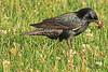 An European Starling taken Jun 13, 2010 in Grand Junction, CO.