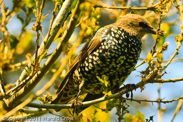 A European Starling taken Sep. 29, 2011 near Monterey, CA.
