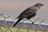 An European Starling taken Apr 23, 2010 near Grand Junction, CO.