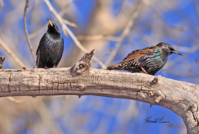 European Starlings taken in Fruita, CO on 14 Jan 2010.