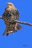A European Starling taken Sep 9, 2010 near Fruita, CO.