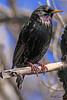 A European Starling taken Mar 19, 2010 in Grand Junction, CO.