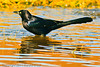 A Great-tailed Grackle taken Oct. 29, 2011 near Portales, NM.