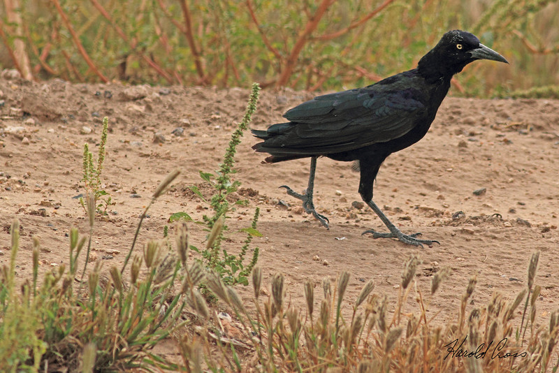 A Great-tailed Grackle taken Oct. 2, 2010 near Muleshoe,  TX.