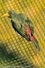 A Grosbeak Starling taken Feb. 25, 2012 in Tucson, AZ.