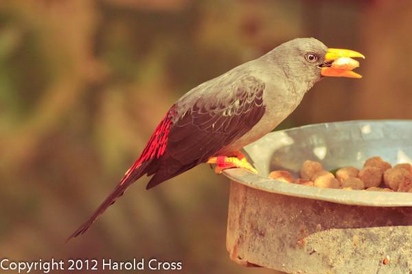 A Grosbeak Starling taken Feb. 20, 2012 in Tucson, AZ.