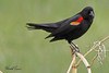 A Red-winged Blackbird taken May 24, 2010 near Bozeman, MT.
