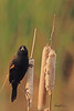 A Red-winged Blackbird taken Oct. 28, 2010 near Fruita, CO.