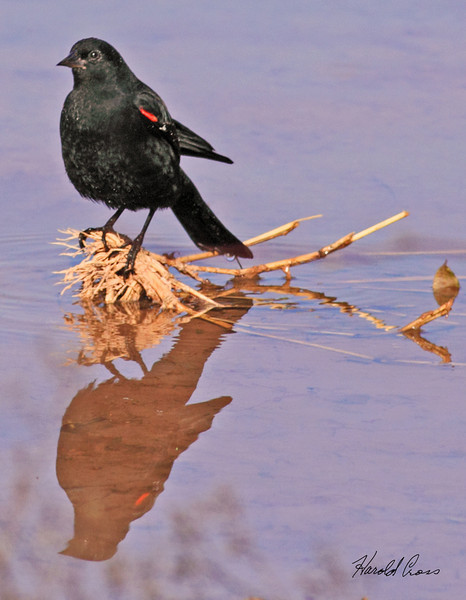 A Red-winged Blackbird taken Feb 11, 2010 in Gilbert, AZ.