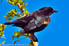 A Red-winged Blackbird taken Apr. 21, 2012 near Fruita, CO.