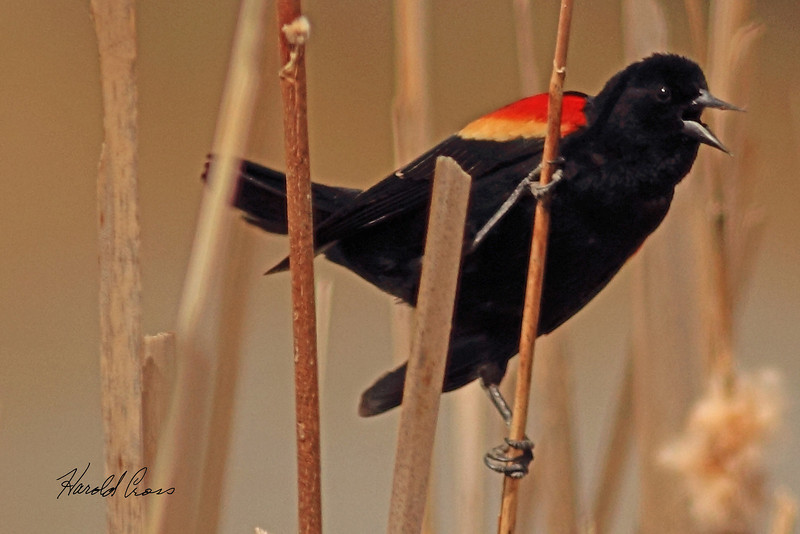 A Red-winged Blackbird taken April 13, 2011 near Fruita, CO.