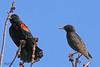 A Red-winged Blackbird with a European Starling taken Apr 10, 2010 near Fruita, CO.