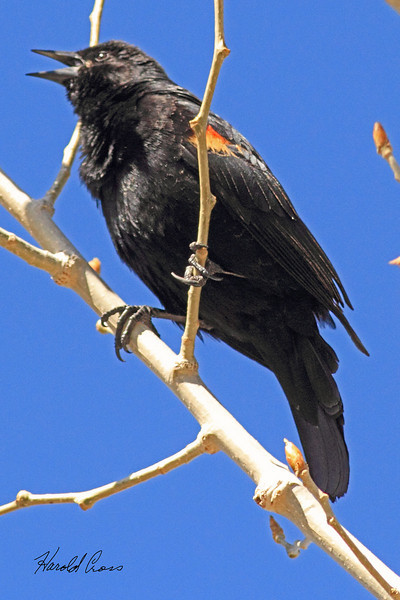 A Red-winged Blackbird taken May 4, 2011 in Grand Junction, CO.