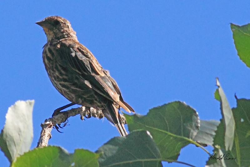 An Red-winged Blackbird taken Aug 9, 2010 near Denver, CO.
