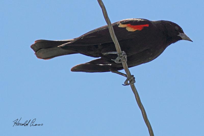 A Red-winged Blackbird taken May 2, 2011 near Fruita, CO.