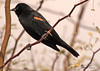 A Red-winged Blackbird taken Feb 6, 2010 in Gilbert, AZ.