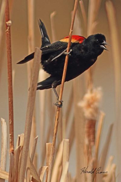 A Red-winged Blackbird taken April 13, 2011 near Fruita, CO.