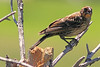 An Red-winged Blackbird taken Aug 9, 2010 near Denver, CO.