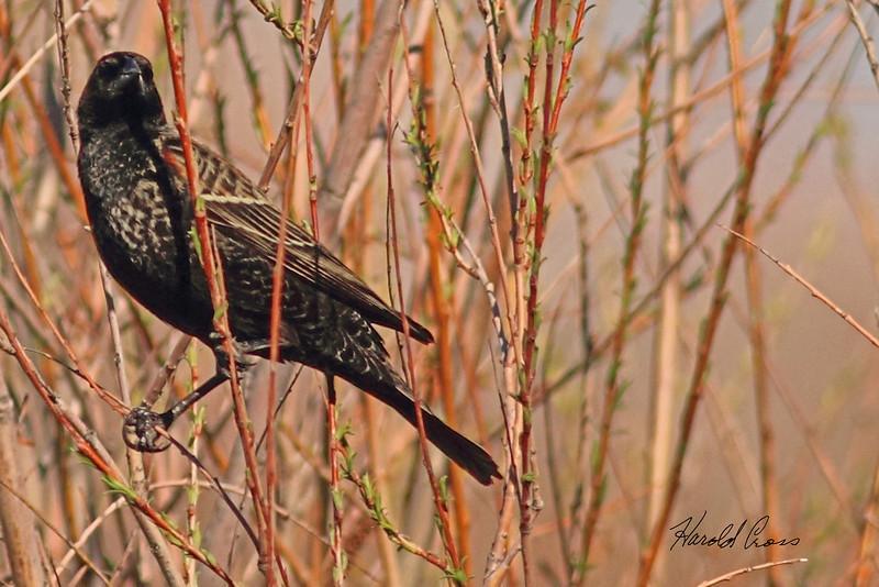 A Red-winged Blackbird taken Apr. 5, 2011 in Grand Junction, CO.