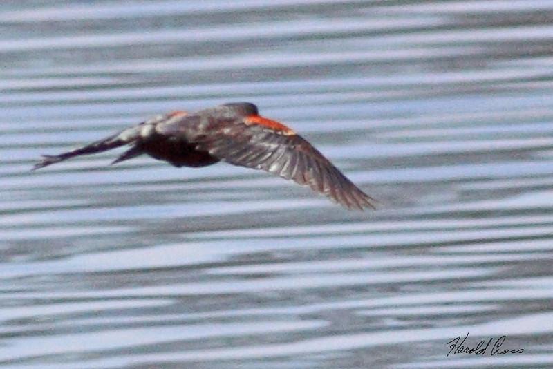 A Red-winged Blackbird taken Apr 10, 2010 in Fruita, CO.